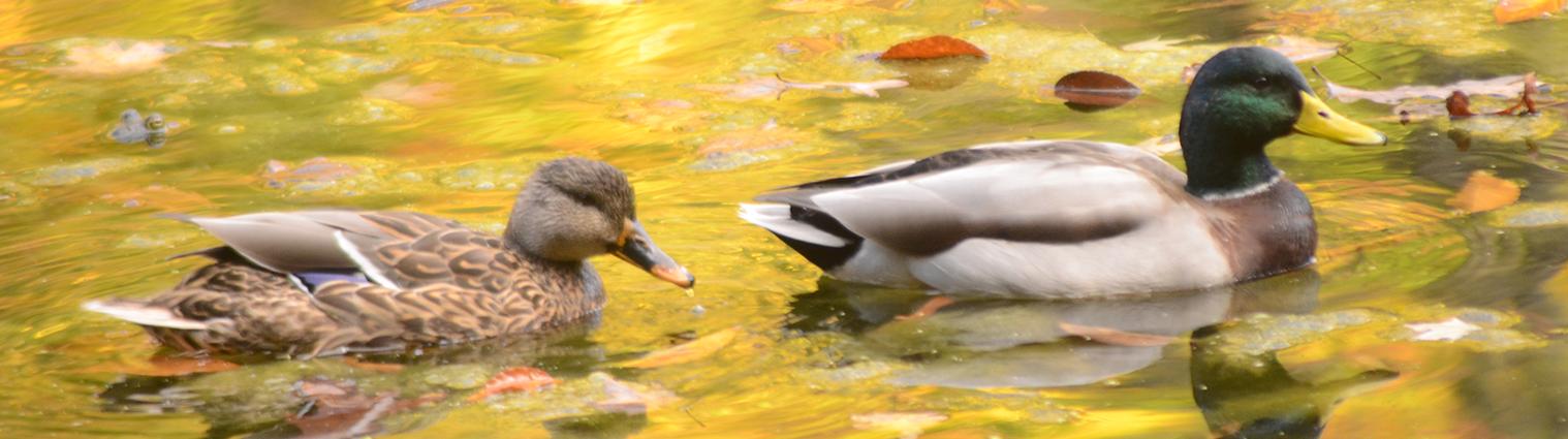Ducks swimming